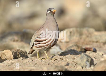 Sand Partridge - Ammoperdix heyi - Stock Photo