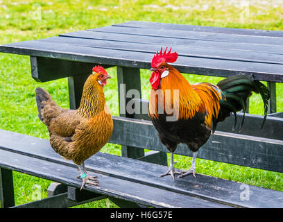 Denmark, Funen, Odense, hen and rooster occupy a picnic table at the Funen village open air museum - Stock Photo