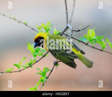 (Southern) Masked Weaver, Ploceus velatus, in South Africa - Stock Photo