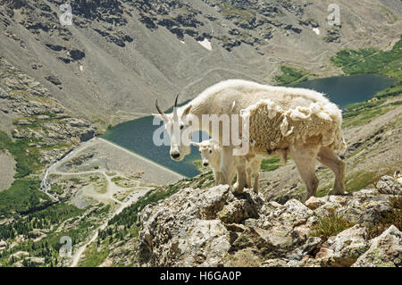 a mother and baby mountain goat on Quandary Peak above Blue Lakes - Stock Photo