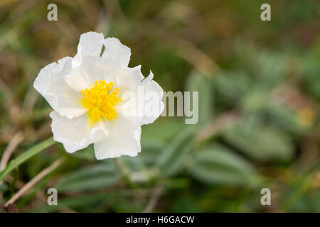 White rock rose (Helianthemum apenninum) flower. Rare delicate white flower of this low growing plant in the family Cistaceae