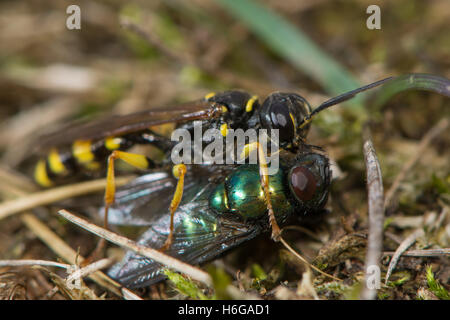 Field digger wasp (Mellinus arvensis) with fly prey. A common digger wasp in the family Crabronidae, with paralysed - Stock Photo