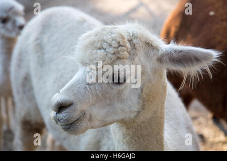 alpaca (Vicugna pacos) on a farm in New south wales,Australia - Stock Photo