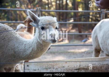 alpaca (Vicugna pacos) on a farm in New south wales,Australia