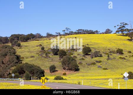 Countryside with yellow daisies in Spring, area around Stokes Bay, Kangaroo island,South Australia - Stock Photo