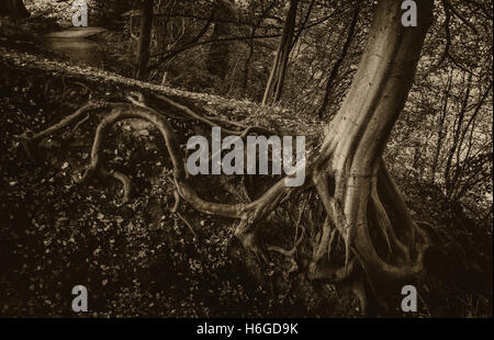 Exposed tree roots with a spooky feel, Bolton Abbey, Yorkshire, UK - Stock Photo