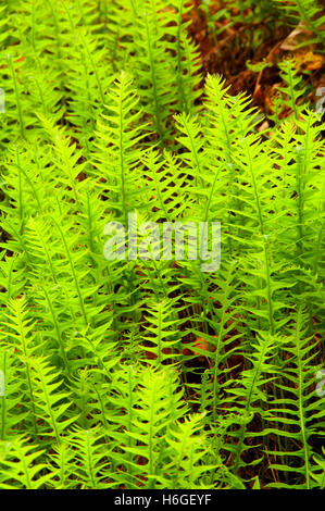 Licorice ferns along Powder House Trail, Niagara County Park, Marion County, Oregon - Stock Photo