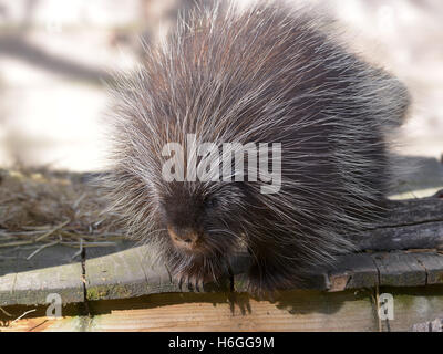The North American porcupine (Erethizon dorsatum), also known as the Canadian porcupine or common porcupine, on - Stock Photo