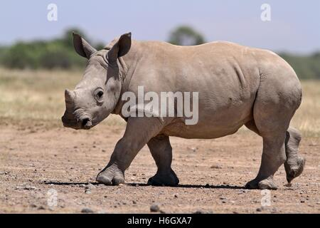 White Rhino calf walking at Ol Pajeta Conservancy, Nanyuki, Kenya - Stock Photo