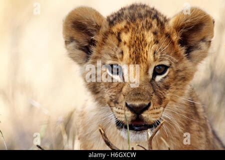 Playful Lion Cub at Ol Pajeta Conservancy, Nanyuki, Kenya - Stock Photo