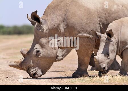 A White Rhino mother walking with her calf at Ol Pajeta Conservancy, Nanyuki, Kenya - Stock Photo