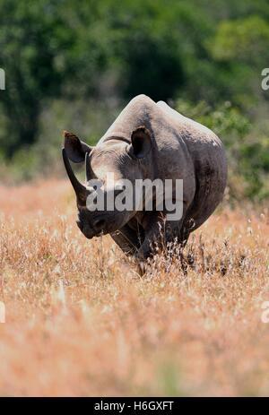 Male White Rhino walking through dry grass at Ol Pajeta Conservancy, Nanyuki, Kenya - Stock Photo