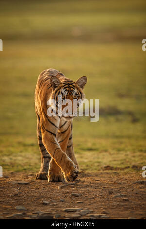 Tiger in a beautiful golden light in Ranthambhore National Park in India. - Stock Photo