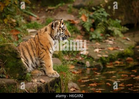 Beautiful tiger cub are resting/captive cat in zoo/Nurnberg in Germany - Stock Photo