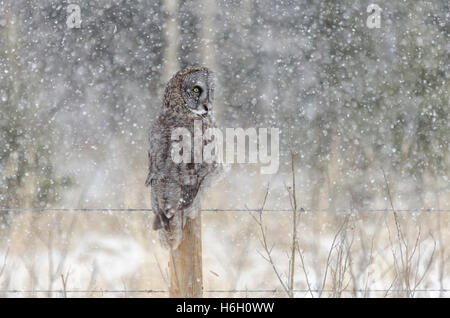Great Grey Owl on a fence post during an April snowstorm in the Alberta foothills, Canada. - Stock Photo