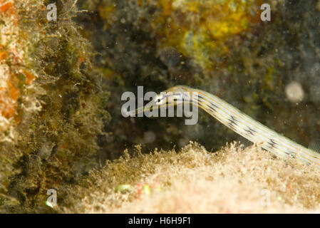 Pipefish. crawling around on the coral rock. Yap, Micronesia. Depth 1m. - Stock Photo