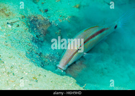 Dash-and-dot goatfish, Parupeneus barberinus (Lacepède, 1801). at slow n easy, Yap island Micronesia. - Stock Photo