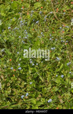 Pale blue flowers of a forget-me-not, Myosotis arvensis, plant with scarlet pimpernel, Berkshire, July - Stock Photo