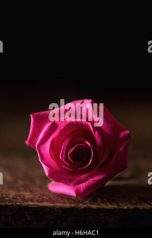 subdued lighting. Pink Rose Shot In Subdued Lighting With Copy Space - Stock Photo