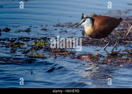 African Jacana (Actophilornis africanus) in water, Moremi Game Reserve, Botswana - Stock Photo