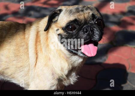 Pug funny face expression pug closeup - Stock Photo
