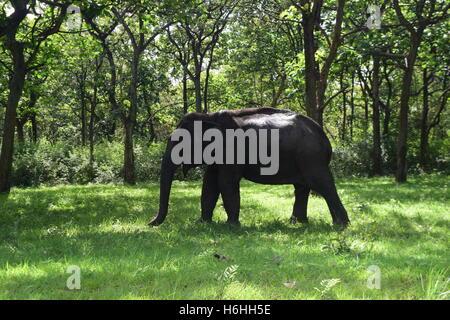 Wild Asian Elephant Indian Elephant walking through the forest of Bandipur National Park in Karnataka India - Stock Photo