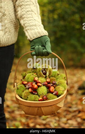 A forager carries freshly picked sweet chestnuts (castanea sativa)  through ancient woodland in South Yorkshire, - Stock Photo