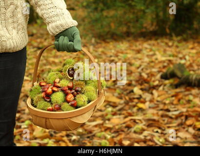 Freshly foraged sweet chestnuts (castanea sativa) are carried in a trug through an ancient woodland, South Yorkshire, - Stock Photo