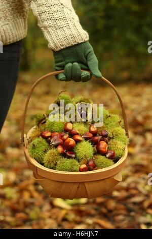 Freshly foraged sweet chestnuts (castanea sativa) carried in a trug through ancient deciduous woodland, Yorkshire, - Stock Photo
