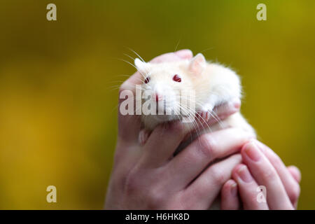 pet rat in owners hands - Stock Photo