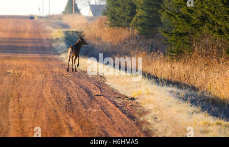 Eight point buck deer crossing a gravel road. - Stock Photo