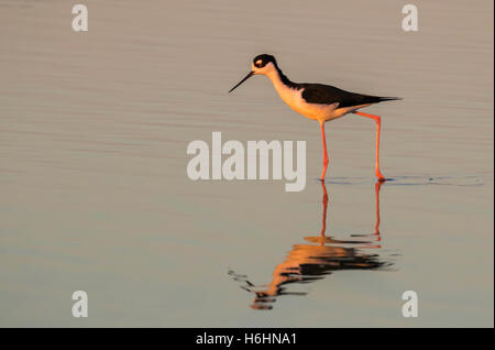 Black-necked stilt (Himantopus mexicanus) wading in tidal marsh at sunset, Galveston, Texas, USA - Stock Photo