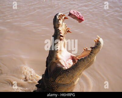 A large jumping Saltwater (Estuarine) Crocodile (Crocodylus porosus) in an Australian River - Stock Photo