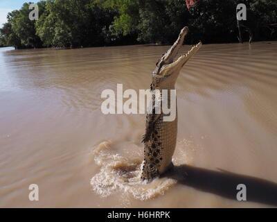 A large jumping Saltwater (Estuarine) Crocodile (Crocodylus porosus) in an Australian River - Stock Photo