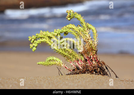 Sea Spurge (Euphorbia paralias) is a European plant that is considered an invasive beach weed in Australia. Wilsons - Stock Photo