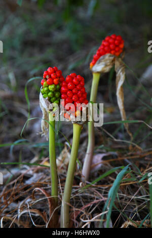 Red berries growing under tree canopies shaded areas forest woodland areas. Arum or Cuckoo Pint or Italian Lords - Stock Photo