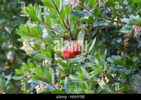 Arbutus unedo. Flowers and fruit of the Strawberry tree. - Stock Photo