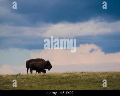 Bison roam the plains, South Unit, Theodore Roosevelt National Park, North Dakota. - Stock Photo