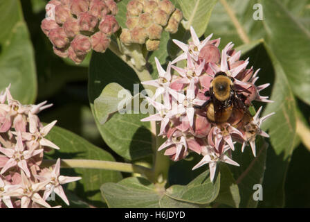 Close Up of a Honey Bee Collecting Nectar from Pink Flowers of a Common Milkweed Plant - Stock Photo