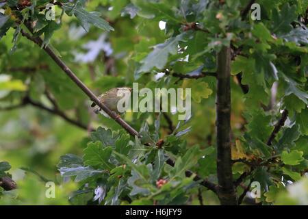 Yellow-browed Warbler (Phylloscopus inornatus) - Stock Photo