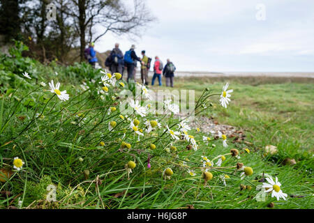 Sea Mayweed (Matricaria maritima) flowers growing by the coast path around Red Wharf Bay, Isle of Anglesey, Wales, - Stock Photo