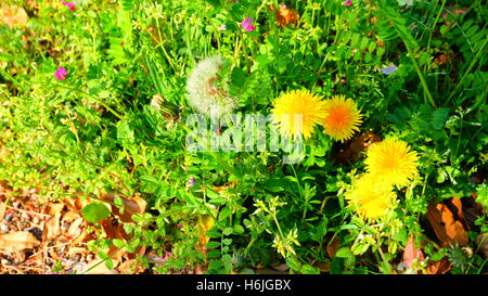Yellow dandelion and white dandelion seeds with grass in spring - Stock Photo