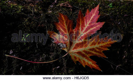 Single Canadian maple leaf sitting on the forest floor. Red and Yellow. Earthy - Stock Photo