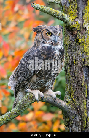 Great Horned Owl Bubo virginianus perched on tree limb, Autumn, Eastern North America - Stock Photo