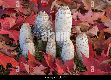 Shaggy Mane Mushrooms deteriorating (Coprinus comatus) amid Maple (Acer) leaves, Autumn, Michigan USA - Stock Photo
