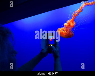 Woman holding Apple iPhone 5s smartphone recording image of JellyFish in Monterey  Bay Aquarium Monterey California - Stock Photo
