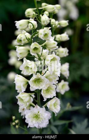 delphinium highlander morning sunrise white flower flowers flowering spike spires spikes tall perennial RM Floral - Stock Photo