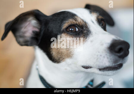 Side profile of a Jack Russell Terrier dog looking suspiciously towards camera - Stock Photo