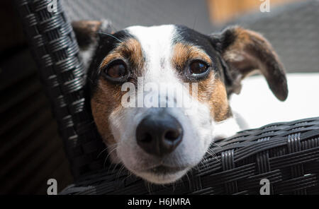 Front view of Jack Russell Terrier dog lying with head resting on arm of black rattan chair outside looking directly - Stock Photo