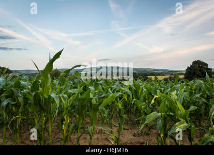 Field of corn or maize leaves on farmland in early Summer at sunset with the South Downs in the background, Sussex - Stock Photo